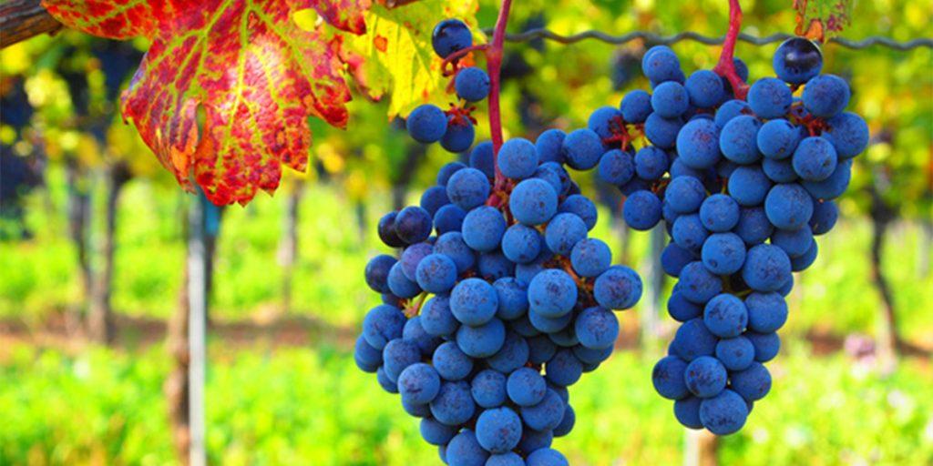 Major health benefits of grapes