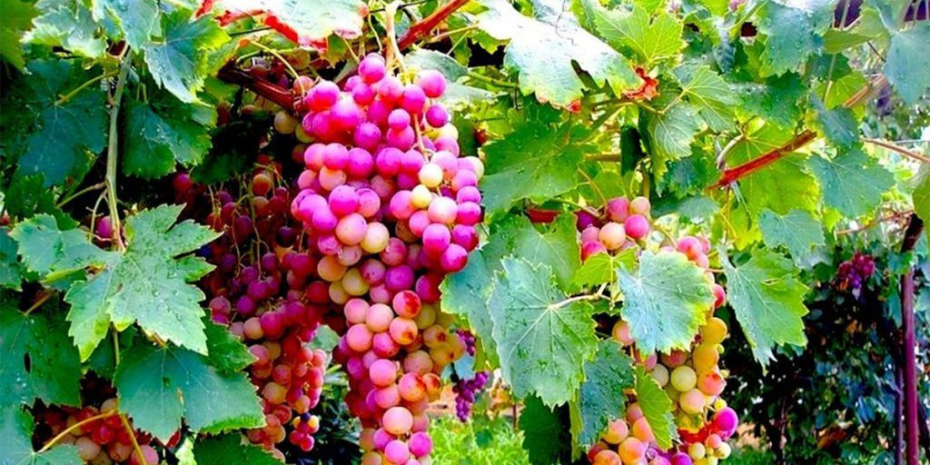 The red variety of grapes